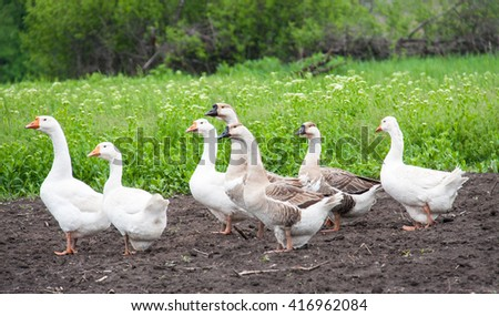 flock of geese grazing on green grass in the village - stock photo