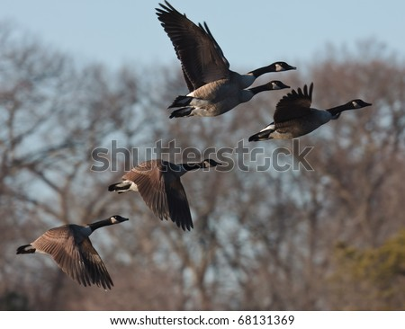 Flock of Geese taking off from a pond - stock photo