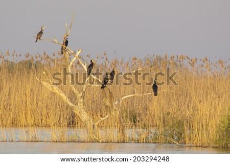 Flock of Great Cormorant (Phalacrocorax carbo) on tree - stock photo