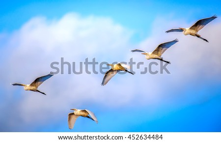 Flock of Great Egrets flying in the clouds over the Chesapeake Bay - stock photo