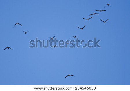 Flock of Greater White-Fronted Geese Flying in a Blue Sky - stock photo