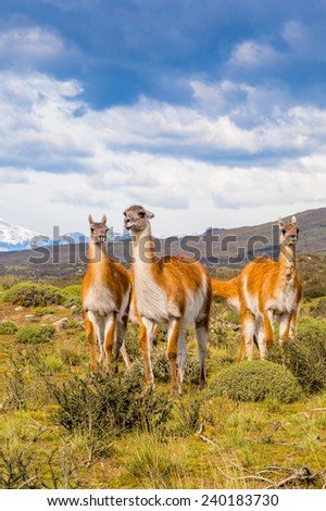 Flock of guanacos running in Patagonia, Chile