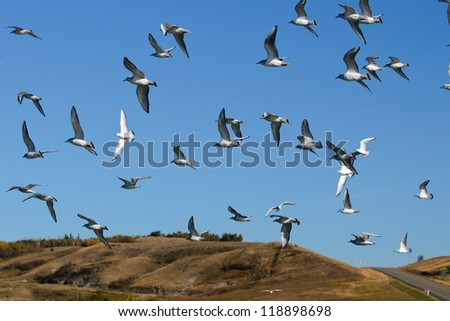 Flock of Gulls over a prairie waterway