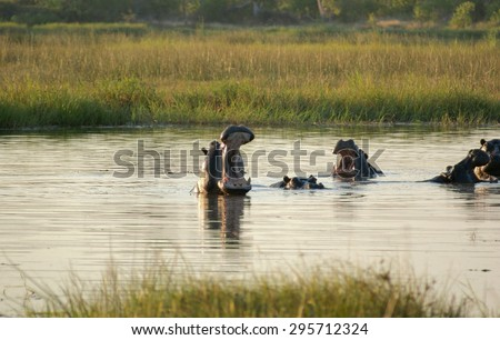 flock of Hioops in a river at the Moremi Game Reserve in Botswana, Africa, at evening time  - stock photo