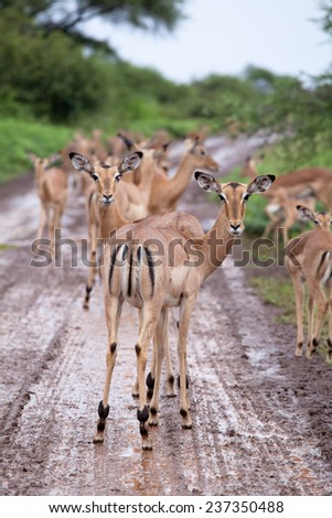 Flock of impala antelope. South Africa, Kruger National Park. - stock photo