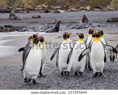 Flock of king penguins surrounded by fur seals - stock photo