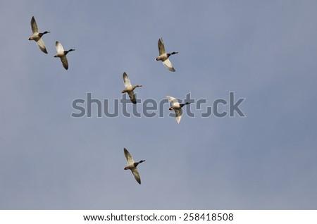 Flock of Mallard Ducks Flying in a Blue Sky - stock photo