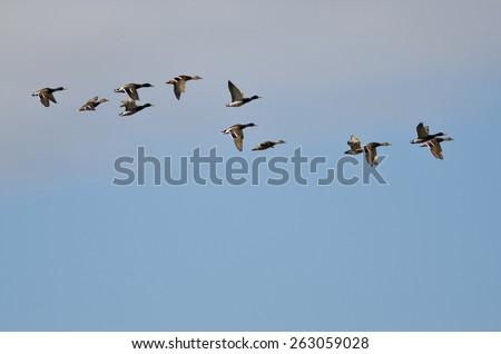 Flock of Mallard Ducks Flying in a Cloudy Sky - stock photo