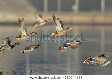 Flock of Mallard Ducks in flight over urban landscape. - stock photo