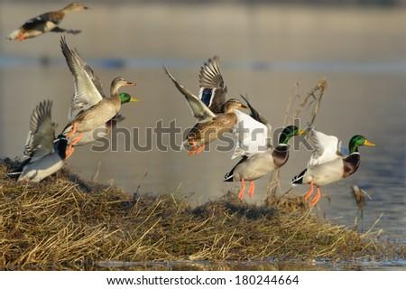 Flock of Mallard Ducks taking off by the river. - stock photo