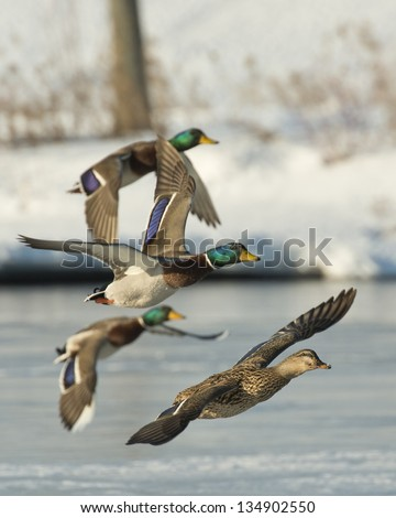 Flock of Mallards - stock photo