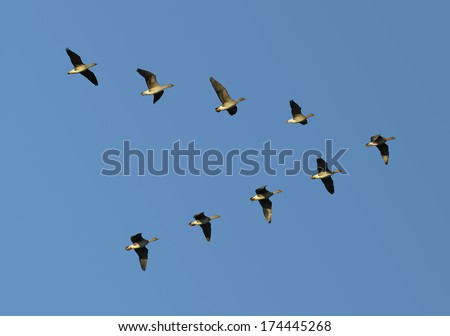 Flock of migrating bean geese flying in v-formation. - stock photo