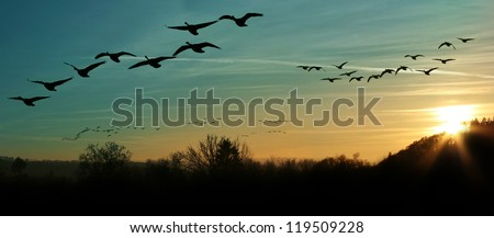 flock of migrating canada geese flying at sunset in a V formation - stock photo