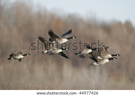 Flock of Migrating Canada Geese in Flight - stock photo