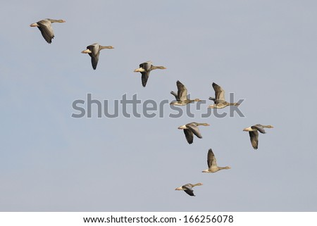 Flock of migrating greylag geese - stock photo