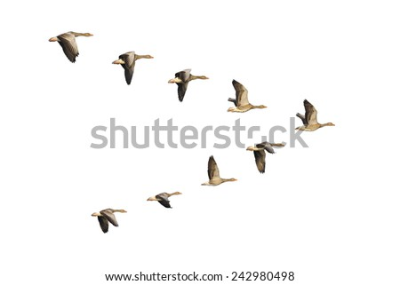Flock of migrating greylag geese flying in V-formation - stock photo