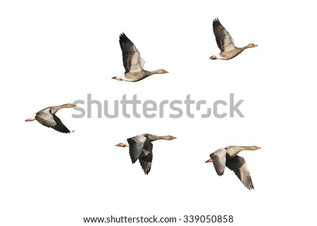 Flock of migrating greylag geese isolated on white - stock photo
