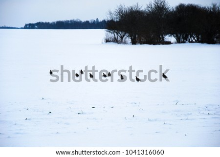 Flock of partridge birds looking for feed in a snowy field