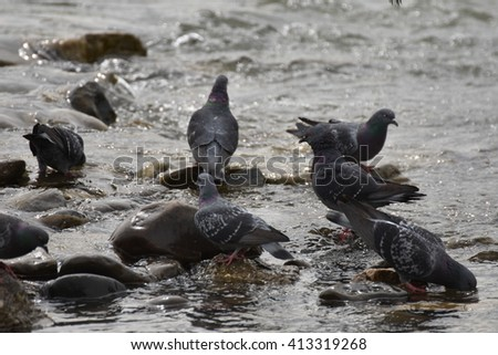 flock of pigeons, Dove drinking water from river ,Pigeons closeup,pigeon flying ,group of pigeons near the river