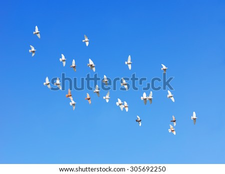 flock of pigeons flying in blue sky - stock photo