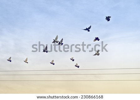 Flock of Pigeons flying over Power wires. - stock photo