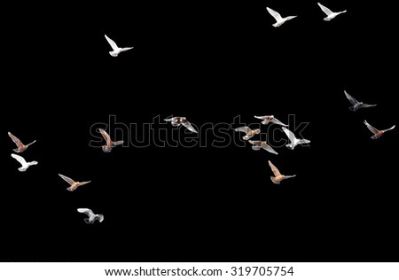 flock of pigeons on a black background - stock photo