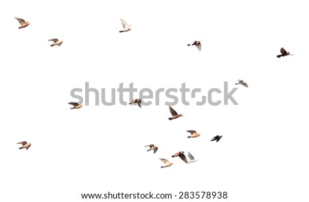 flock of pigeons on a white background - stock photo