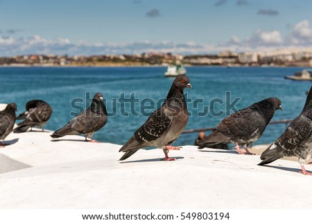 flock of pigeons on the seafront in Sevastopol