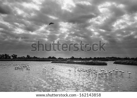 flock of pink flamingoes (Phoenicopterus roseus) at dawn, in Camargue National Reserve, France (with the city of Saintes Maries de la mer on the back ground) - stock photo