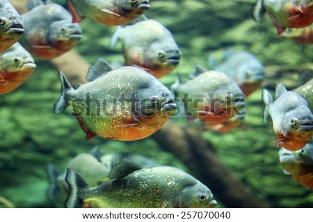 flock of piranhas swim nature wildlife - stock photo