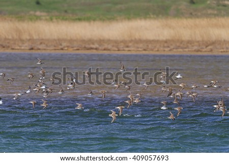 flock of sandpipers flying over blue water, migration from south to north