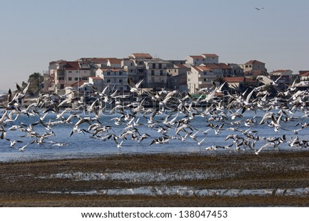 Flock of seagulls in front of village Stobrec on Adriatic coast in Croatia