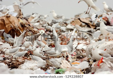 Flock of seagulls picking through trash on a landfill