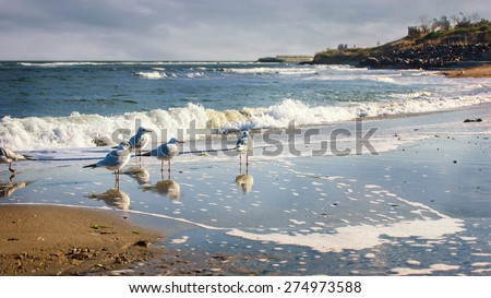 Flock of seagulls wading on a sandy beach, coast of the Black Sea - stock photo
