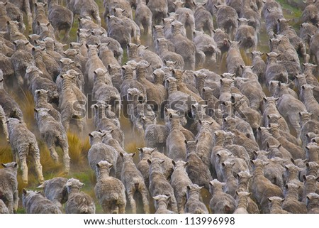 Flock of sheared sheep with central sheep looking at camera / Mackenzie District, Canterbury Region, South Island - stock photo