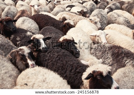 flock of sheep as a background - stock photo