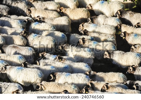 Flock of sheep at Pyrenees, Navarre (Spain) - stock photo