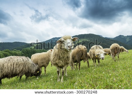 flock of sheep breeding in the green grass mountain meadow - one sheep looking straight into camera - stock photo