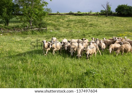 Flock of sheep. Flock of sheep high in the mountains before the storm. - stock photo