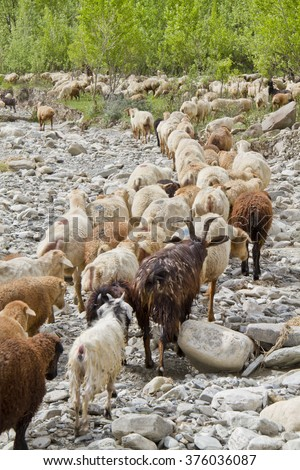 flock of sheep, goat, horns, leader, meadow, greens, trees, sheep, flock, lamb
