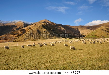 Flock of Sheep grazing a grass in New Zealand