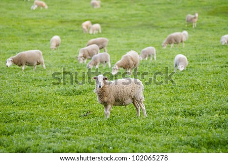Flock of sheep grazing in a grassy paddock/field, with one sheep staring at the camera. Taken in rural Australia. - stock photo
