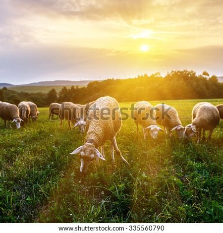 Flock of sheep grazing in a pasture in the foothills of the Carpathian mountains in Slovakia. - stock photo
