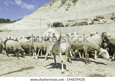 Flock of sheep grazing in farm outdoors, animals and nature