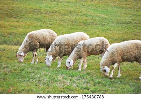 flock of sheep grazing on - stock photo