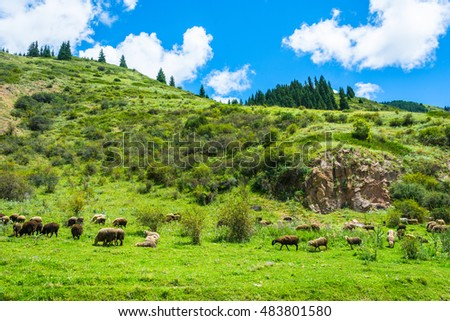 Flock of sheep grazing on a hillside on a Sunny summer day, Kyrgyzstan.