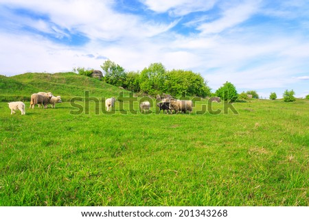 Flock of sheep grazing on grass and the beautiful sky
