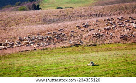 Flock of sheep guarded by sheepdog - stock photo