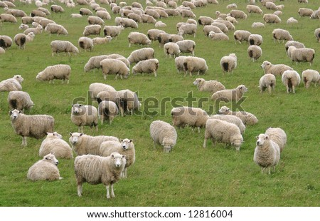 Flock of Sheep in a green meadow curiously looking at camera. South Island. New Zealand