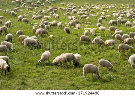 Flock of sheep in Brandenburg, Germany - stock photo